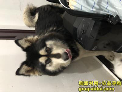 义乌找狗主人,廿三里捡到一只母阿拉斯加,块头很大,它是一只非常可爱的宠物狗狗,希望它早日回家,不要变成流浪狗。