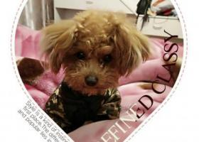 寻狗启示泰迪狗在上海市浦东新区新场镇走丢,是小型泰迪狗,很急。