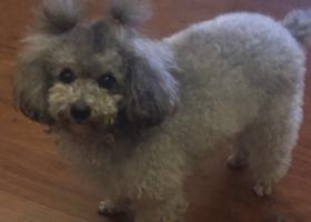 寻狗启示,深圳龙华观澜百丽名苑天桥酬谢一万元寻找灰色泰迪,它是一只非常可爱的宠物狗狗,希望它早日回家,不要变成流浪狗。