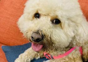 寻狗启示,2.13日于南京虹悦城附近捡到一只香槟色公泰迪,它是一只非常可爱的宠物狗狗,希望它早日回家,不要变成流浪狗。