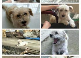 寻狗启示,希望大家看到狗狗能联系我,非常感谢!!!!!!,它是一只非常可爱的宠物狗狗,希望它早日回家,不要变成流浪狗。