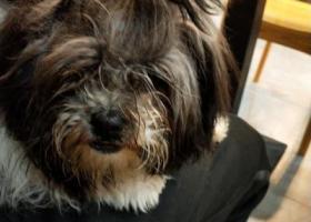 寻狗启示,···捡到一只黑白哈巴狗···,它是一只非常可爱的宠物狗狗,希望它早日回家,不要变成流浪狗。