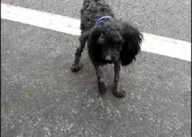 寻狗启示,给黑灰色泰迪找着急的主人,它是一只非常可爱的宠物狗狗,希望它早日回家,不要变成流浪狗。