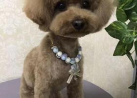 万元寻五六斤重的一只浅红棕色泰迪犬