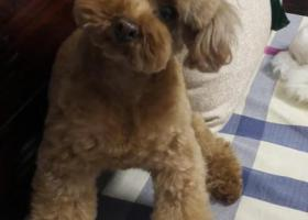 北京丰台寻母泰迪10岁红棕色