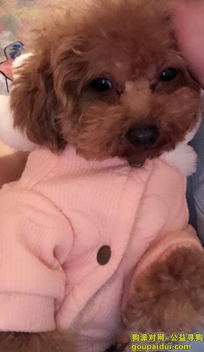 ,寻狗启示小体泰迪棕色感谢????,它是一只非常可爱的宠物狗狗,希望它早日回家,不要变成流浪狗。