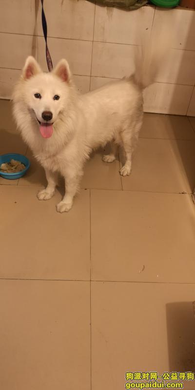 ,2019年2月5号在三亚南山寺景区捡到萨摩耶一只,它是一只非常可爱的宠物狗狗,希望它早日回家,不要变成流浪狗。