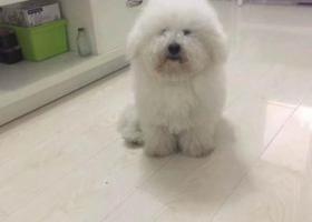 寻狗启示,儿子走丢了希望好心人帮帮,它是一只非常可爱的宠物狗狗,希望它早日回家,不要变成流浪狗。