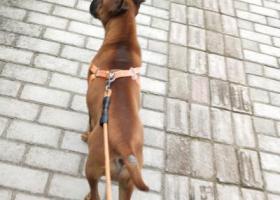 寻狗启示,寻找2月13号下午在附图关公园丢失重庆狗,它是一只非常可爱的宠物狗狗,希望它早日回家,不要变成流浪狗。