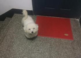 寻狗启示,捡到白色贵宾狗一只,它是一只非常可爱的宠物狗狗,希望它早日回家,不要变成流浪狗。