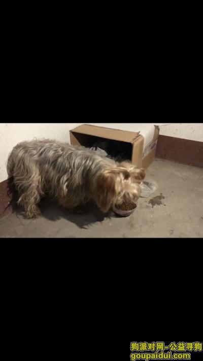 宜昌寻狗启示,本人寻得一只约克夏犬,它是一只非常可爱的宠物狗狗,希望它早日回家,不要变成流浪狗。