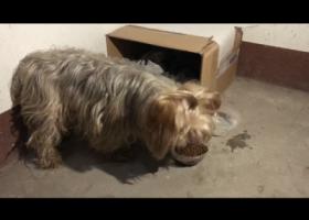 寻狗启示,本人寻得一只约克夏犬,它是一只非常可爱的宠物狗狗,希望它早日回家,不要变成流浪狗。