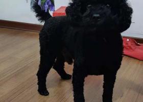 寻狗启示,寻找黑色泰迪  南湾营润康苑走失,它是一只非常可爱的宠物狗狗,希望它早日回家,不要变成流浪狗。