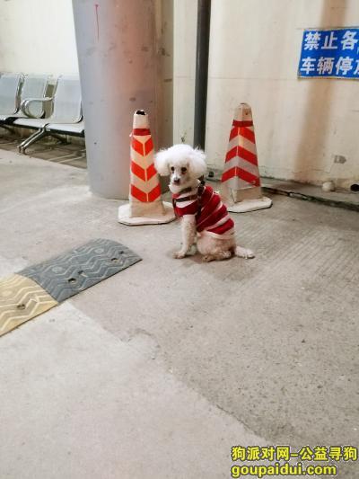泰安找狗,虎山路一只白色小狗在等待主人,它是一只非常可爱的宠物狗狗,希望它早日回家,不要变成流浪狗。