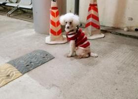 寻狗启示,虎山路一只白色小狗在等待主人,它是一只非常可爱的宠物狗狗,希望它早日回家,不要变成流浪狗。