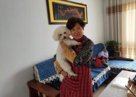 寻狗启示,寻狗,比熊,白色,母,三岁。名:皮球。,它是一只非常可爱的宠物狗狗,希望它早日回家,不要变成流浪狗。