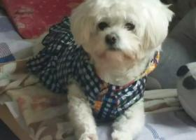 寻狗启示,找狗。白色比熊串串,母狗,5岁在东海县桃林镇苗蛤庄走丢,它是一只非常可爱的宠物狗狗,希望它早日回家,不要变成流浪狗。