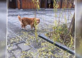寻狗启示,重庆寻找金毛狗狗金毛,它是一只非常可爱的宠物狗狗,希望它早日回家,不要变成流浪狗。
