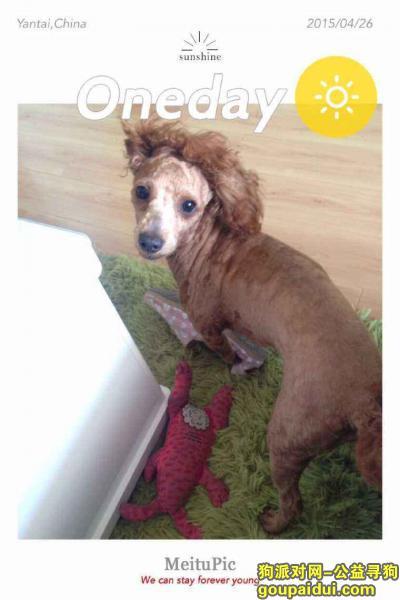 商丘寻狗启示,丢失棕色泰迪,头上有白色杂毛,身上的毛剃了,它是一只非常可爱的宠物狗狗,希望它早日回家,不要变成流浪狗。