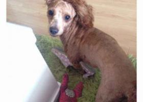 丢失棕色泰迪,头上有白色杂毛,身上的毛剃了