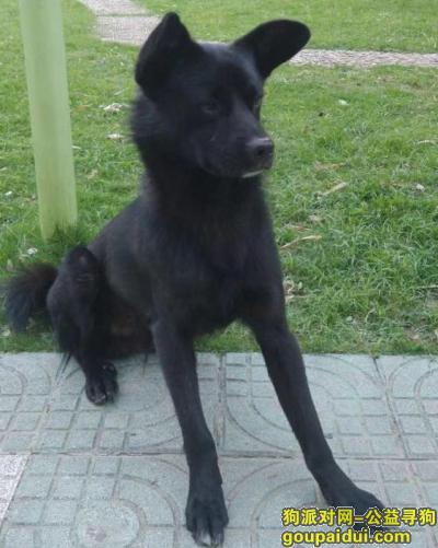 寻狗启示,上海临空soho影城重金寻找黑色田园犬,它是一只非常可爱的宠物狗狗,希望它早日回家,不要变成流浪狗。