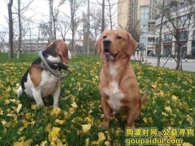 寻狗启示,成都新都大丰寻找狗,黄色1岁土狗,它是一只非常可爱的宠物狗狗,希望它早日回家,不要变成流浪狗。