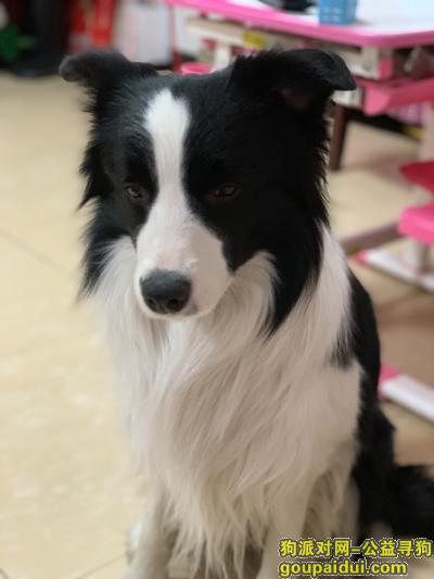 寻狗启示,2019年2月19日晚八点半左右,东城区东花市北里西区南门附近走失黑白边牧一只。未佩戴狗绳。,它是一只非常可爱的宠物狗狗,希望它早日回家,不要变成流浪狗。