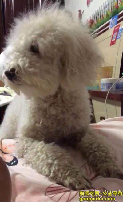寻狗启示,。白色泰迪犬,不是特别白,它是一只非常可爱的宠物狗狗,希望它早日回家,不要变成流浪狗。