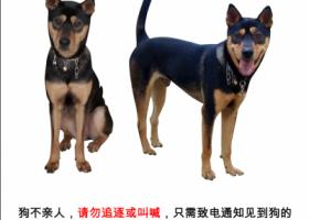 """寻狗启示,寻找狗狗""""家人""""波士狗,它是一只非常可爱的宠物狗狗,希望它早日回家,不要变成流浪狗。"""