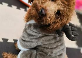 寻狗启示,义乌北苑莲塘找棕色贵宾犬,它是一只非常可爱的宠物狗狗,希望它早日回家,不要变成流浪狗。