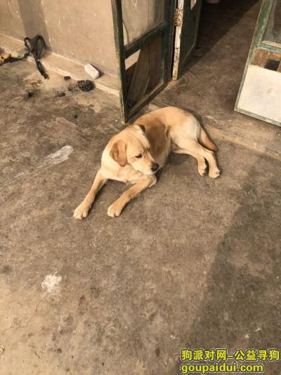 临沂丢狗,费县费城街道西胡家村丢失拉布拉多犬一只,它是一只非常可爱的宠物狗狗,希望它早日回家,不要变成流浪狗。