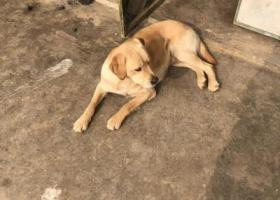 寻狗启示,费县费城街道西胡家村丢失拉布拉多犬一只,它是一只非常可爱的宠物狗狗,希望它早日回家,不要变成流浪狗。