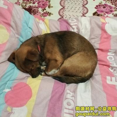 安庆找狗,2月21号在安庆迎春花苑附近丢失,它是一只非常可爱的宠物狗狗,希望它早日回家,不要变成流浪狗。