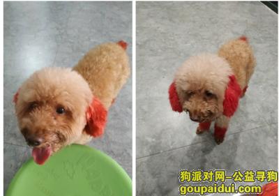 ,火炬开发区大岭捡到贵宾一只,它是一只非常可爱的宠物狗狗,希望它早日回家,不要变成流浪狗。
