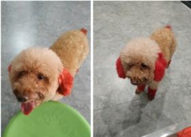寻狗启示,火炬开发区大岭捡到贵宾一只,它是一只非常可爱的宠物狗狗,希望它早日回家,不要变成流浪狗。