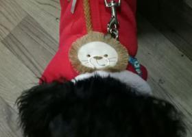 寻狗启示,温江青泰家园泰迪走失,它是一只非常可爱的宠物狗狗,希望它早日回家,不要变成流浪狗。