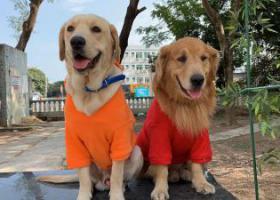 寻狗启示,龙华区观湖街道观城社区河西新村门口走失两条狗黄色毛发,它是一只非常可爱的宠物狗狗,希望它早日回家,不要变成流浪狗。
