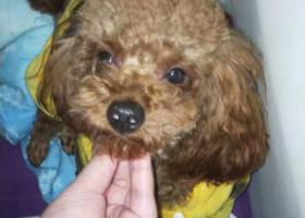 寻狗启示,雨花区爱犬因发情从家中跑出家门《江苏省雨花区铁心桥银杏山庄》,它是一只非常可爱的宠物狗狗,希望它早日回家,不要变成流浪狗。