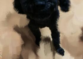 【寻狗】黑色成年的公泰迪