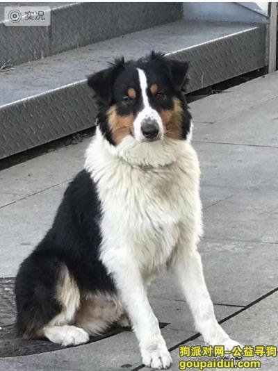 无锡找狗主人,无锡 寻找牧羊犬主人,它是一只非常可爱的宠物狗狗,希望它早日回家,不要变成流浪狗。