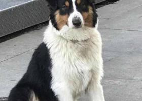 寻狗启示,无锡 寻找牧羊犬主人,它是一只非常可爱的宠物狗狗,希望它早日回家,不要变成流浪狗。