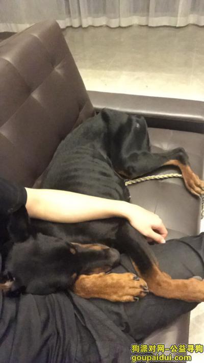 临汾找狗,山西临汾信合西路丢失3岁杜宾犬,它是一只非常可爱的宠物狗狗,希望它早日回家,不要变成流浪狗。