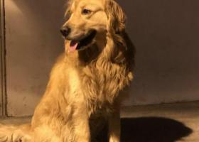 寻狗启示,成都寻金毛犬  急急急,它是一只非常可爱的宠物狗狗,希望它早日回家,不要变成流浪狗。