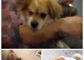 寻狗启示,深圳福田寻一黄白相间的串串公狗(右眼失明),它是一只非常可爱的宠物狗狗,希望它早日回家,不要变成流浪狗。