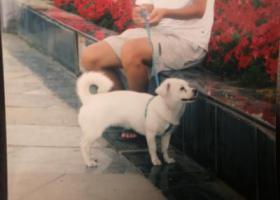 寻狗启示,石家庄寻狗白色中等体型,它是一只非常可爱的宠物狗狗,希望它早日回家,不要变成流浪狗。
