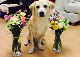 寻狗启示,寻中小型浅黄男田园犬,它是一只非常可爱的宠物狗狗,希望它早日回家,不要变成流浪狗。