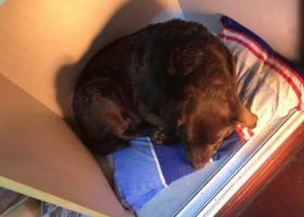 寻狗启示,古田路附近捡到一只棕色拉布拉多母犬,它是一只非常可爱的宠物狗狗,希望它早日回家,不要变成流浪狗。