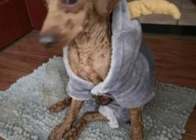 寻狗启示,穿着羊头外衣的初六泰迪,它是一只非常可爱的宠物狗狗,希望它早日回家,不要变成流浪狗。