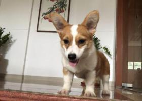 寻狗启示,惠州江北找狗 柯基一只,它是一只非常可爱的宠物狗狗,希望它早日回家,不要变成流浪狗。