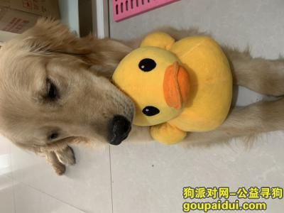 潍坊捡到狗,胜利街附近捡到金毛狗狗一只!,它是一只非常可爱的宠物狗狗,希望它早日回家,不要变成流浪狗。